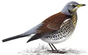 7th hole – Fieldfare (2x)