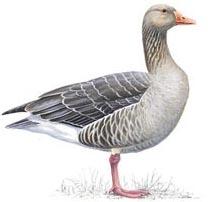 2nd hole – Greylag Geese