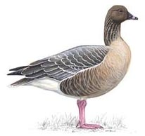 2nd hole – Pink-footed Geese (2x)