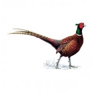 Cock pheasant - 8th hole
