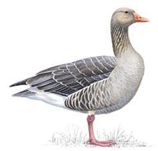Greylag Goose - everywhere