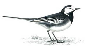 Pied wagtail - 6th hole
